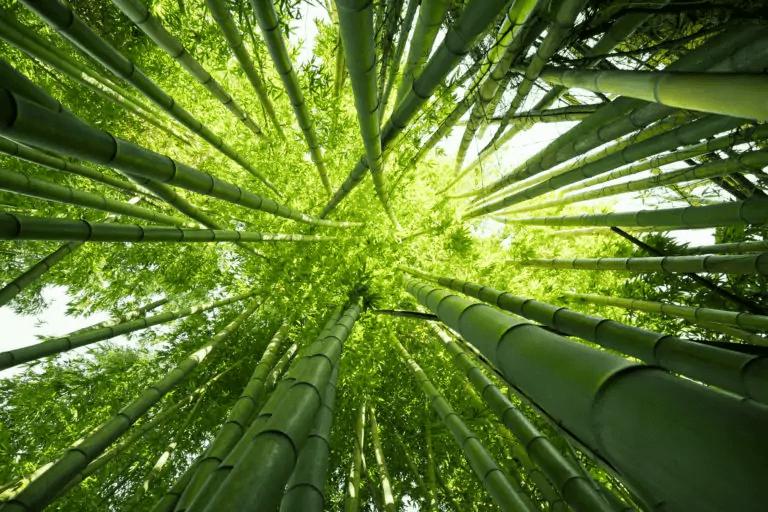 Bambusbäume von unten mit Blick nach oben